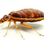 brown bed bug big