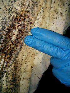 begbug infestation in bedding